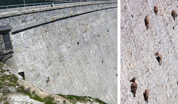 Living on the edge / The Alpine Ibex goats